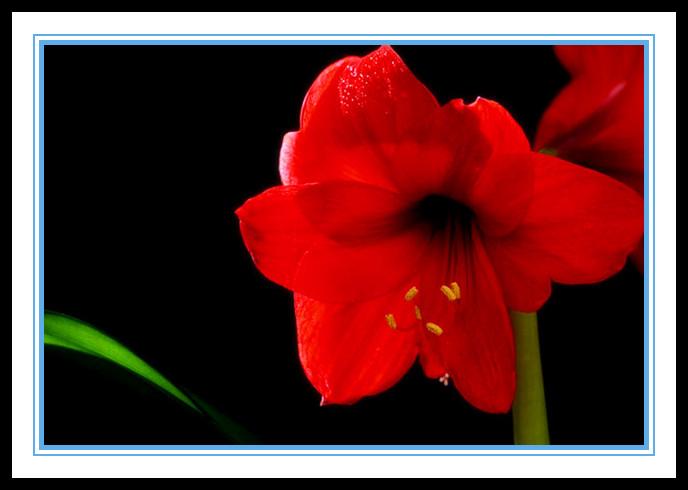 """娇艳迷人、深沉、庄重之美的""""对红花""""_图1-3"""
