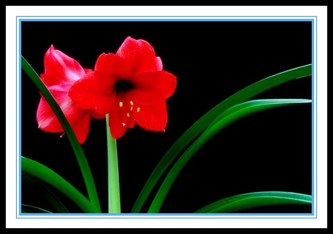 """娇艳迷人、深沉、庄重之美的""""对红花""""_图1-4"""