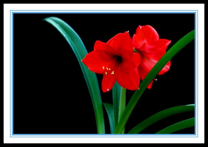 """娇艳迷人、深沉、庄重之美的""""对红花""""_图1-5"""