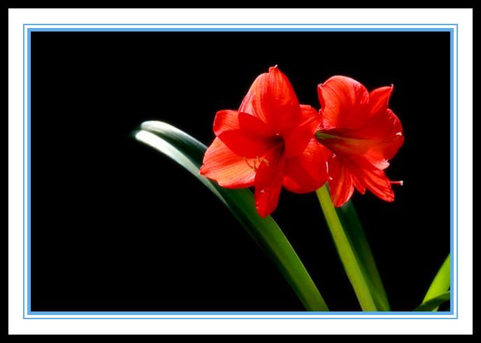 """娇艳迷人、深沉、庄重之美的""""对红花""""_图1-7"""
