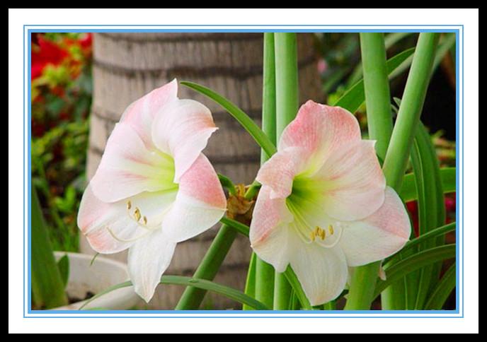 """娇艳迷人、深沉、庄重之美的""""对红花""""_图1-11"""