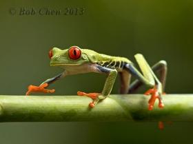 【摄影】红眼树蛙