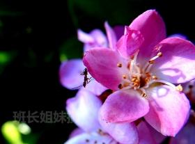 蚂蚁的花心秘密