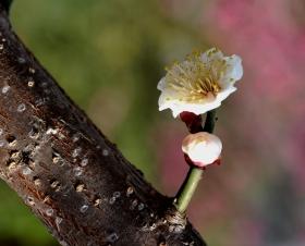 天柱山下的梅花
