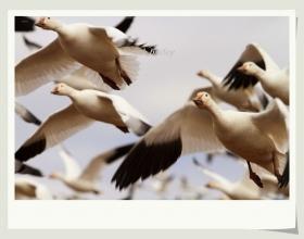 【小虫摄影】铺天盖地的雪雁