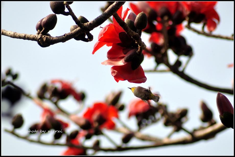 红棉与小鸟_图1-3