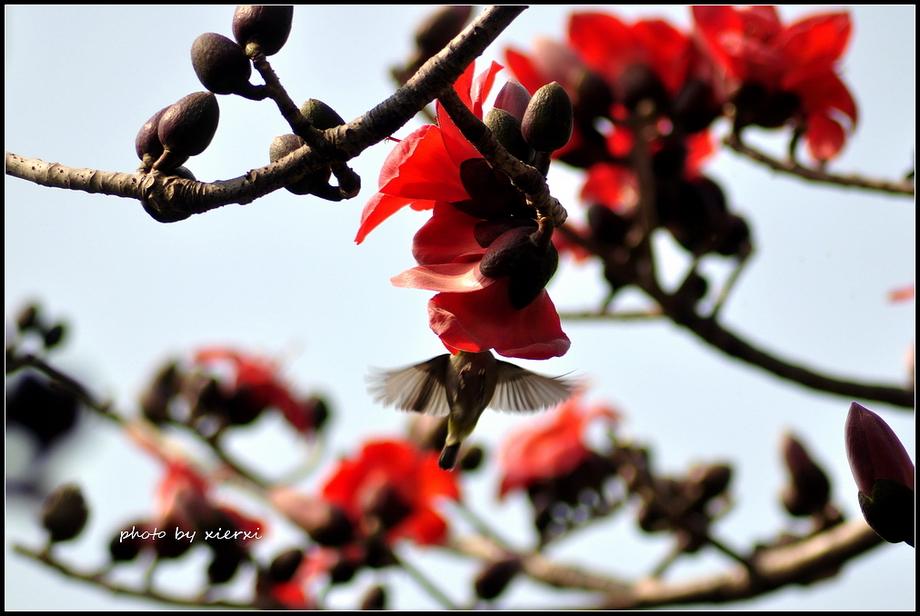 红棉与小鸟_图1-4