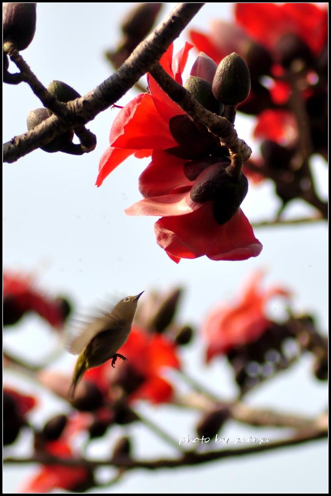 红棉与小鸟_图1-5