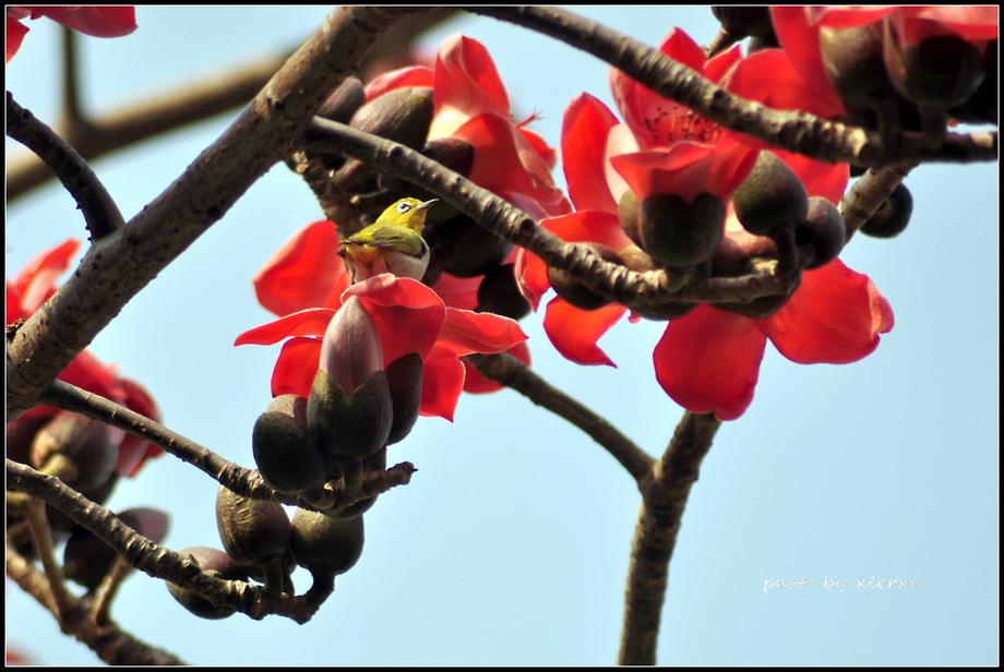 红棉与小鸟_图1-6