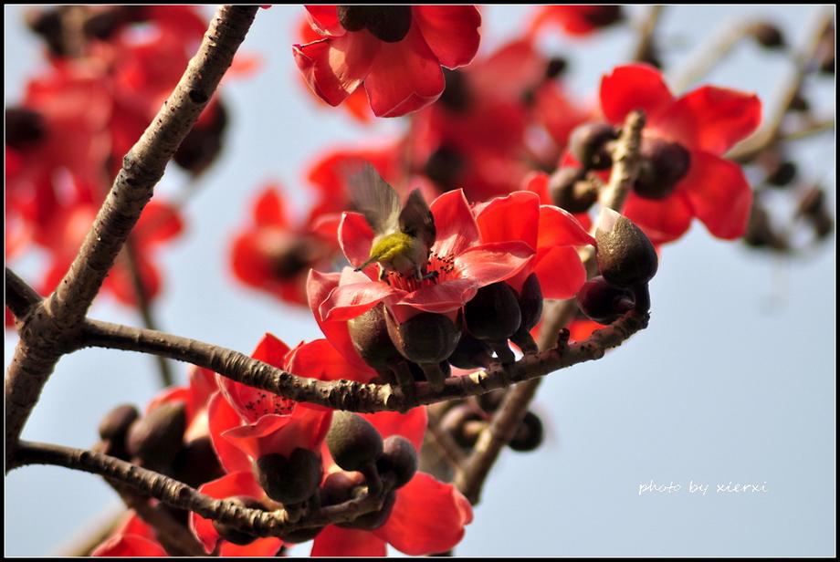 红棉与小鸟_图1-8