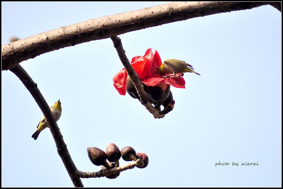 红棉与小鸟_图1-9