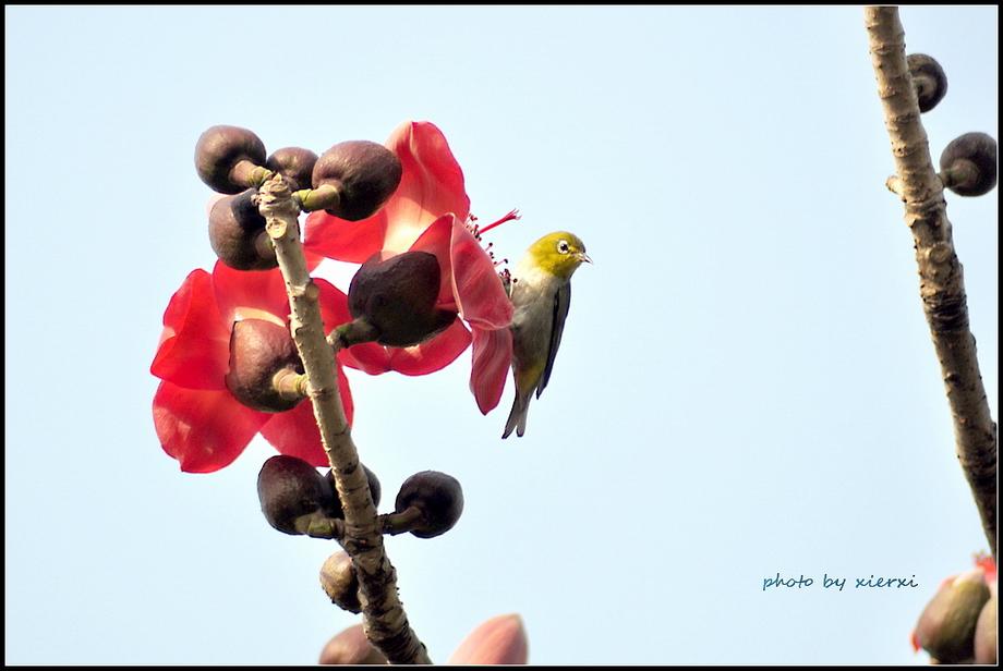 红棉与小鸟_图1-10