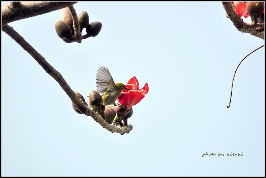 红棉与小鸟_图1-11