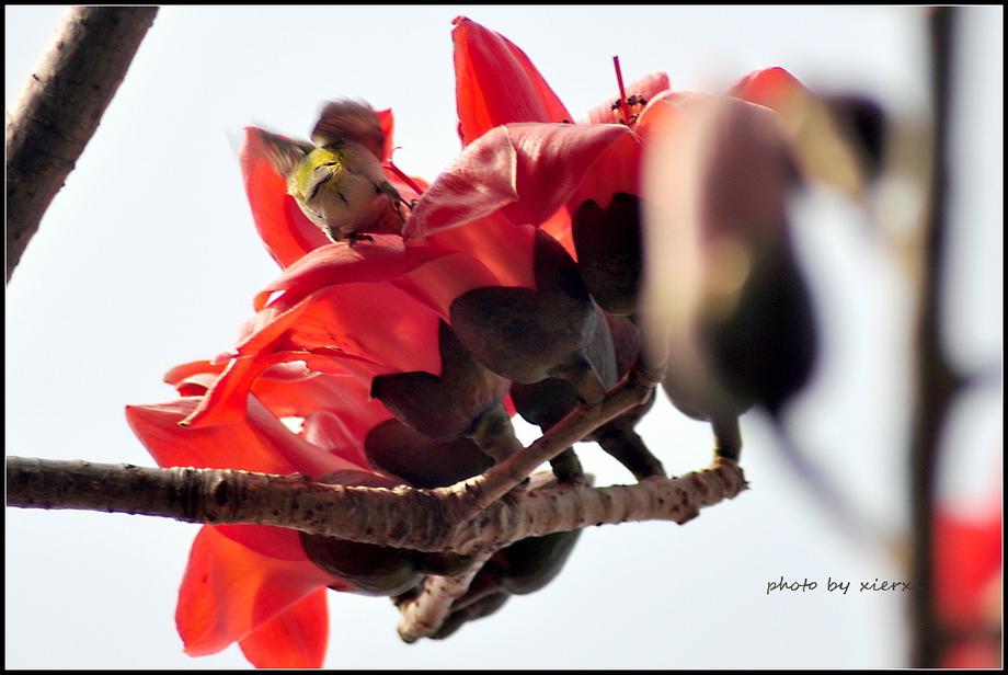 红棉与小鸟_图1-12
