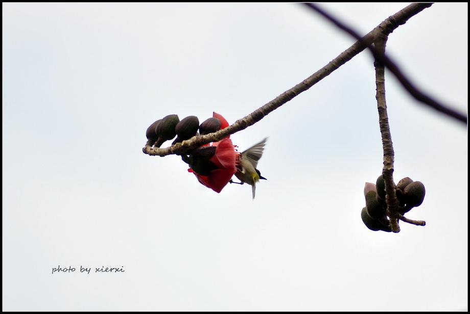 红棉与小鸟_图1-13