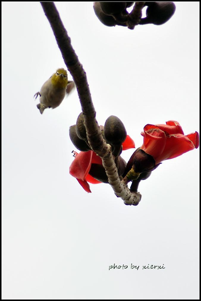 红棉与小鸟_图1-14