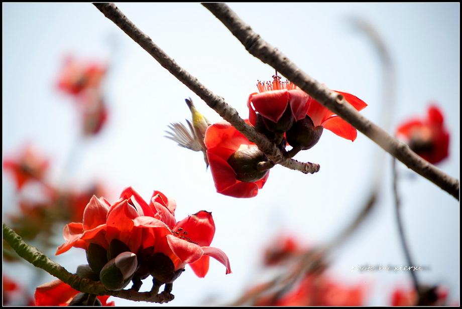 红棉与小鸟_图1-15