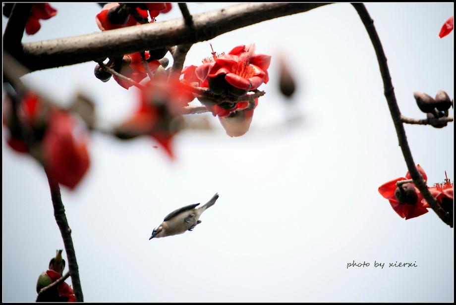 红棉与小鸟_图1-17