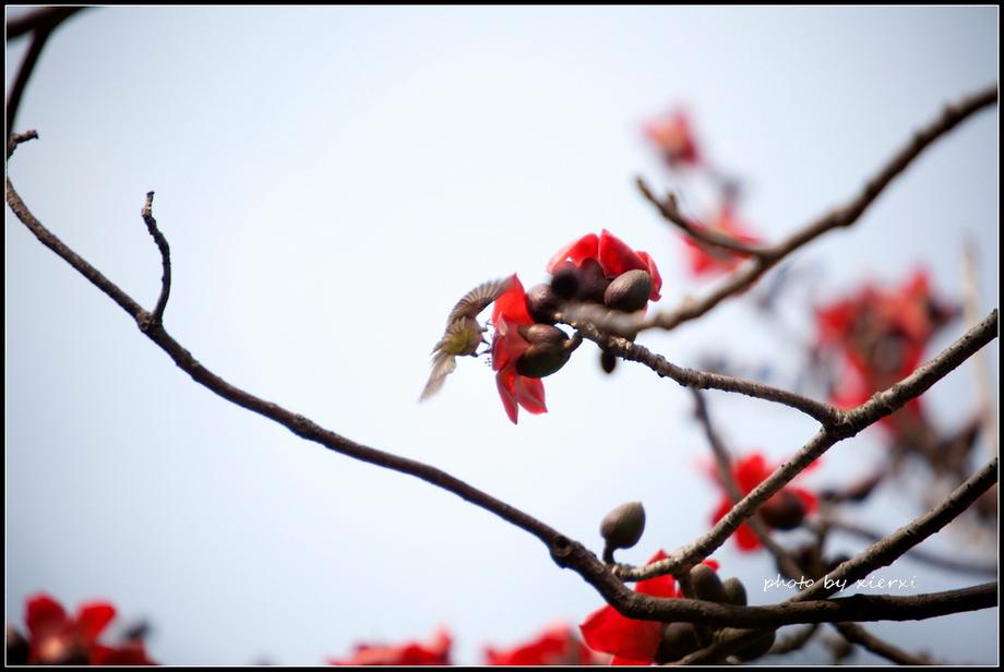 红棉与小鸟_图1-18