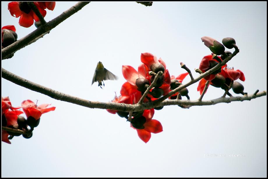 红棉与小鸟_图1-20