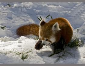 红熊猫之二