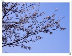 豆奶:赏武大樱花