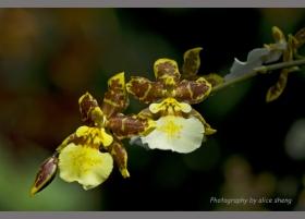 纽约植物园兰花展