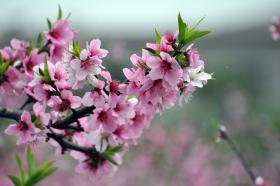 三月桃花开