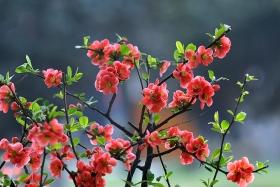 海棠花儿开