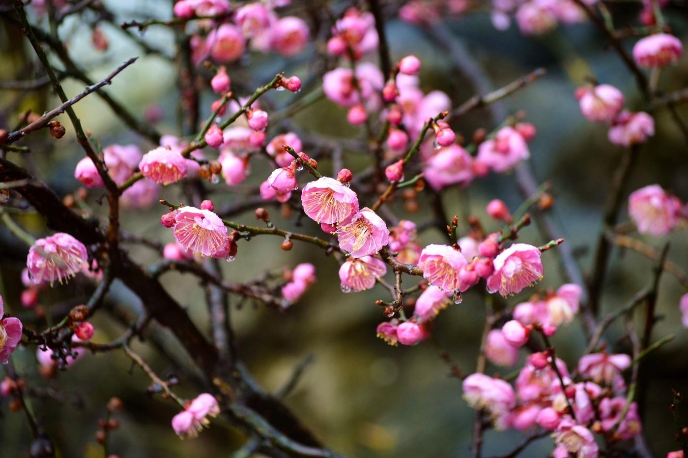 【原创新稿】雨中赏梅(春天的神话组诗之十一) - 畅之 - 智凯书屋