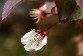 凋零的樱花