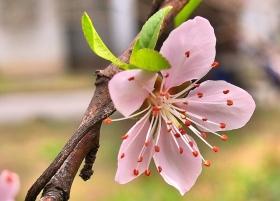 桃花朵朵红