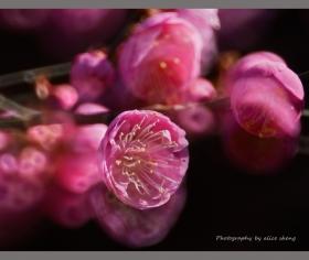 红梅朵朵迎春来