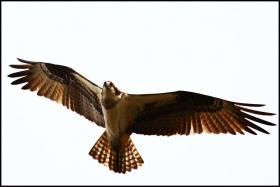 红尾鹰         [一片叶]
