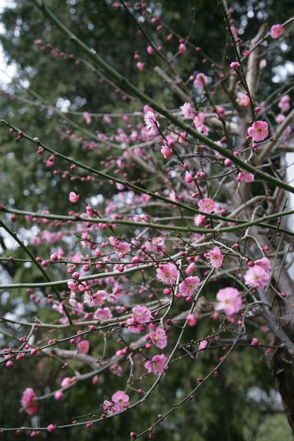 春日赏梅_图1-1