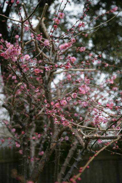 春日赏梅_图1-2