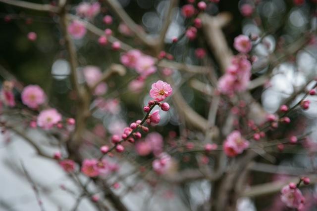 春日赏梅_图1-4