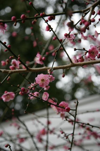 春日赏梅_图1-5
