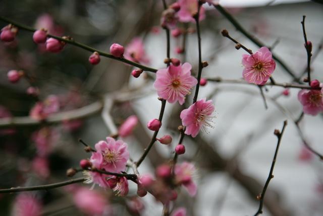 春日赏梅_图1-8