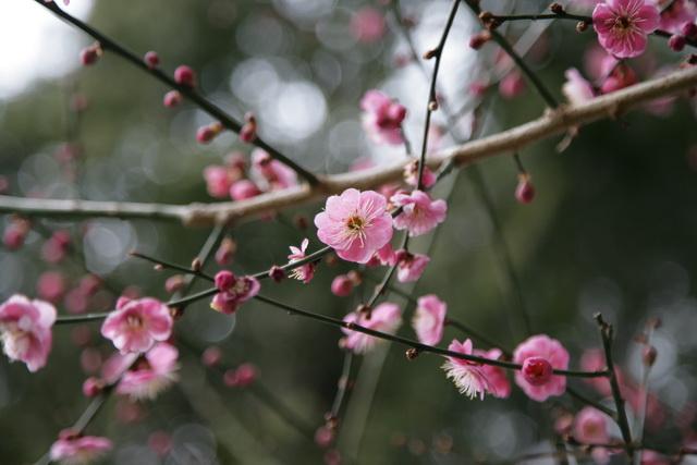 春日赏梅_图1-9