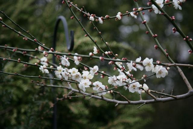 春日赏梅_图1-12