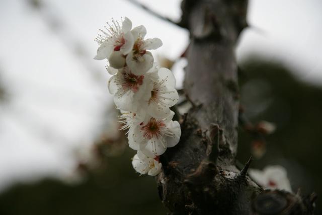 春日赏梅_图1-13
