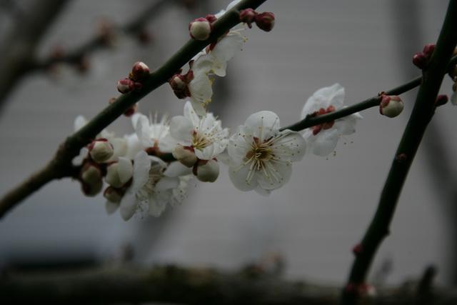 春日赏梅_图1-14
