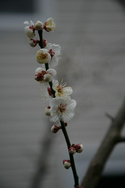 春日赏梅_图1-15