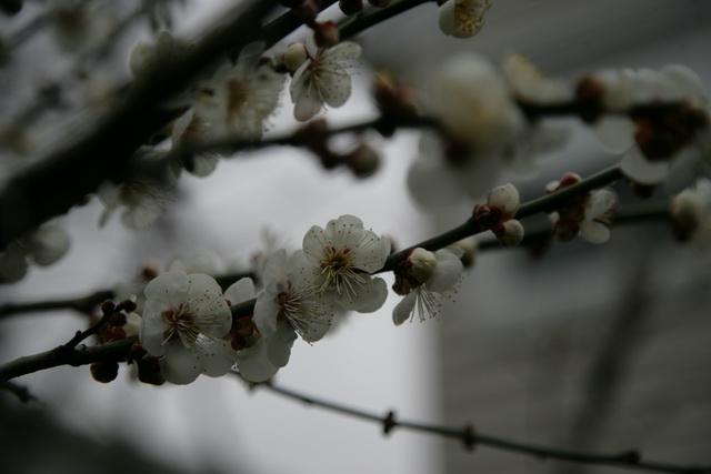 春日赏梅_图1-16