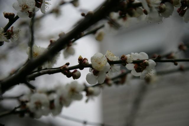 春日赏梅_图1-17