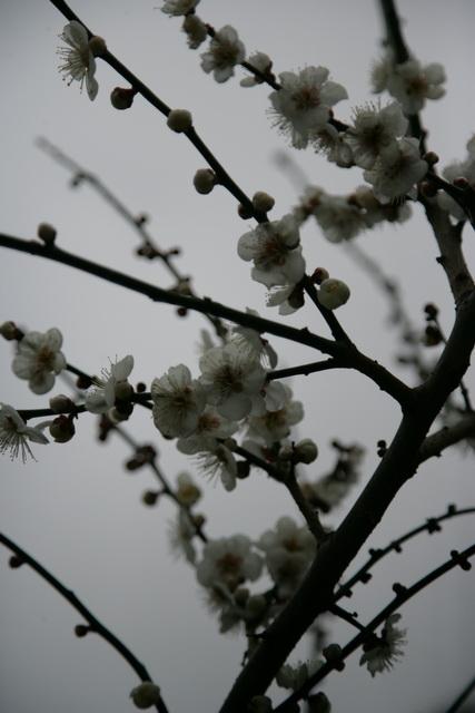 春日赏梅_图1-20