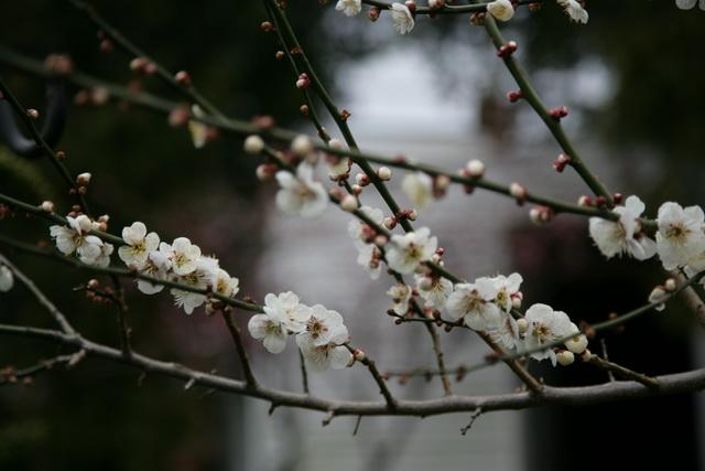 春日赏梅_图1-22