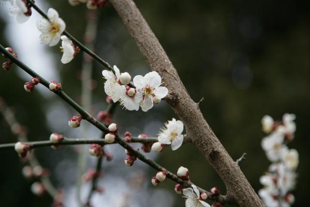 春日赏梅_图1-25