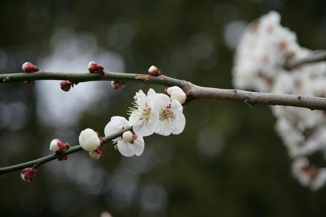春日赏梅_图1-27